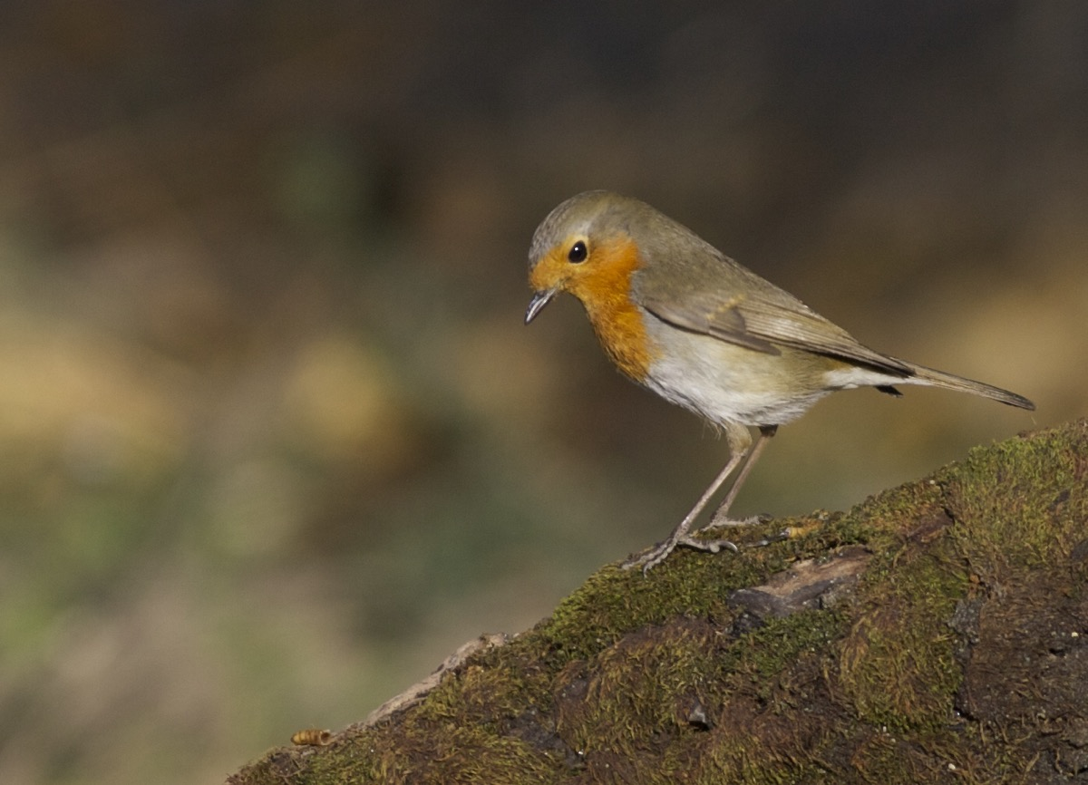 2014-12-03 European Robin, Temple of Heaven2