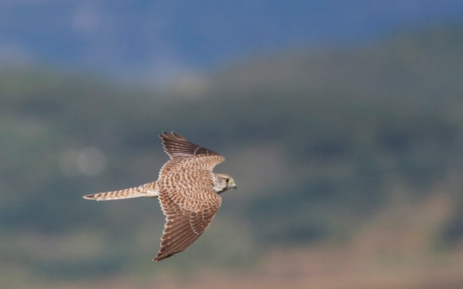 Juvenile COMMON KESTREL.  One of the many raptors to pass through Miyun on 5th October.