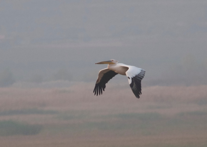 Great White Pelican, Miyun Reservoir, 22 October 2014.