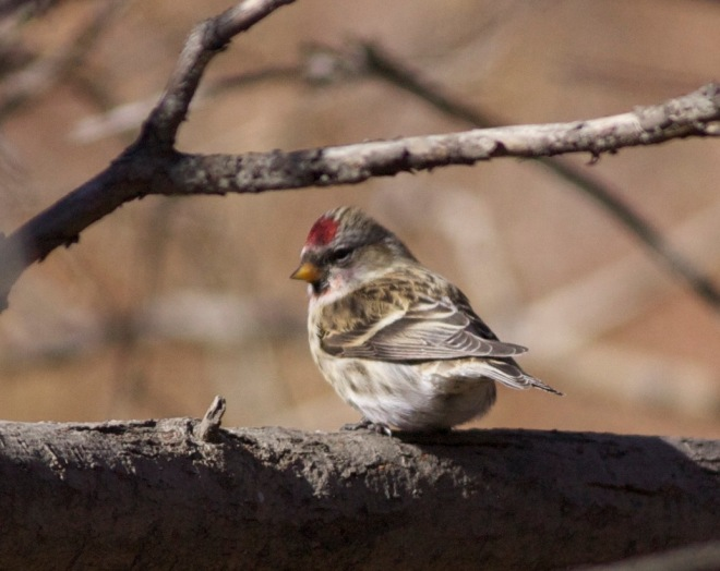 Common Redpoll, Lingshan, 6 November 2014