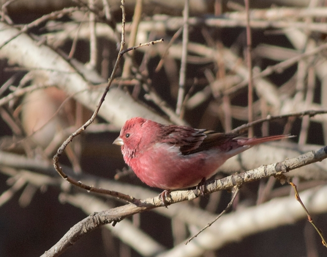 Pallas's Rosefinch (ad male), Lingshan, 6 November 2014