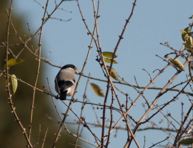 Eurasian Bullfinch (but which ssp?), Temple of Heaven Park