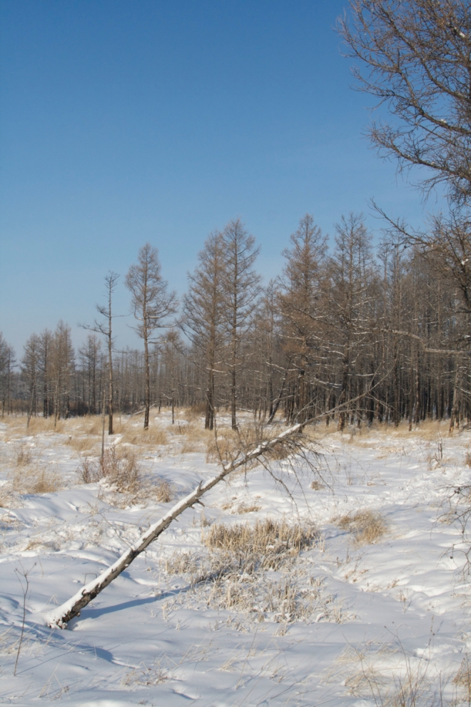 2014-12-22 Hawk Owl habitat3, Wuerqihan, Inner Mongolia