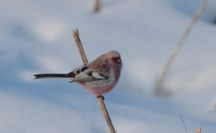 Rosefinches