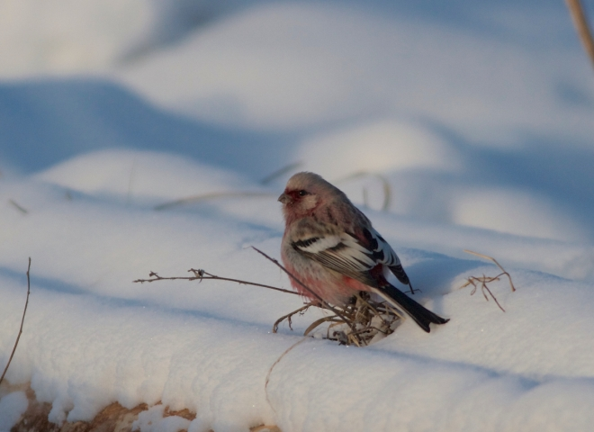 2014-12-22 Long-tailed Rosefinch male4, Wuerqihan, Inner Mongolia