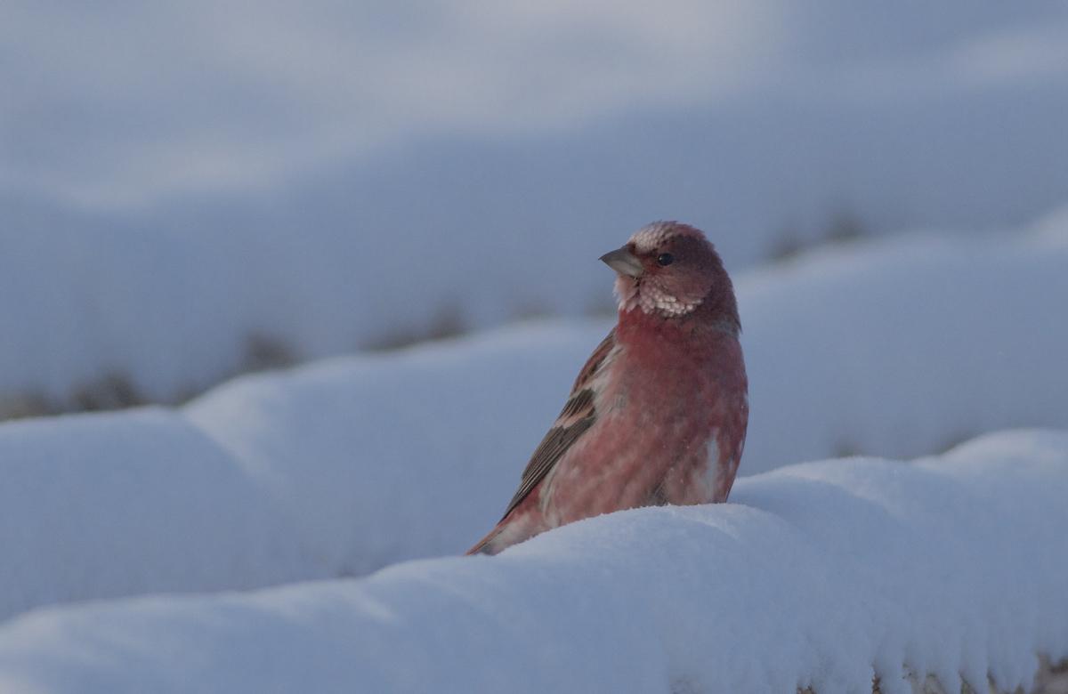 2014-12-22 Pallas's Rosefinch ad male4, Wuerqihan, Inner Mongolia