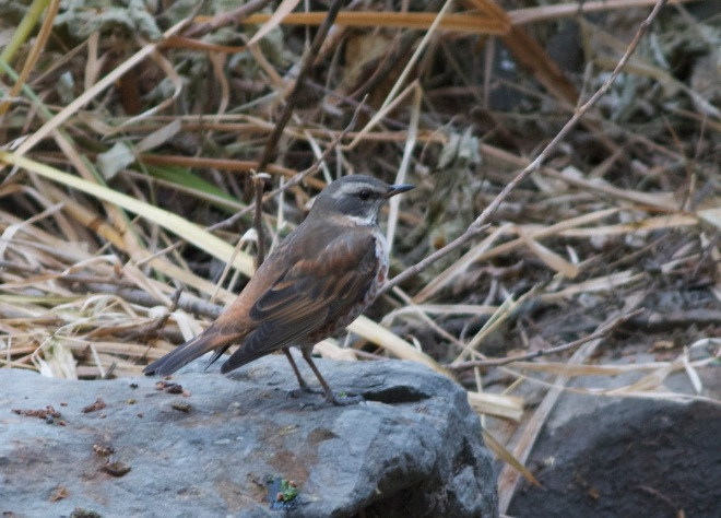 2013-12-11 Dusky x Naumann's Thrush intergrade, Peking University