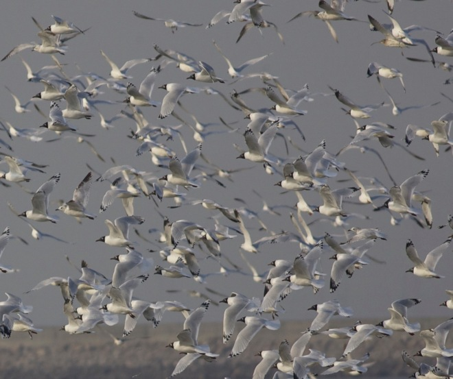 2015-03-25 Relict Gull flock in flight, Tianjin