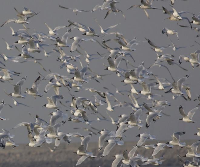 2015-03-25 Relict Gull flock in flight, Tianjin