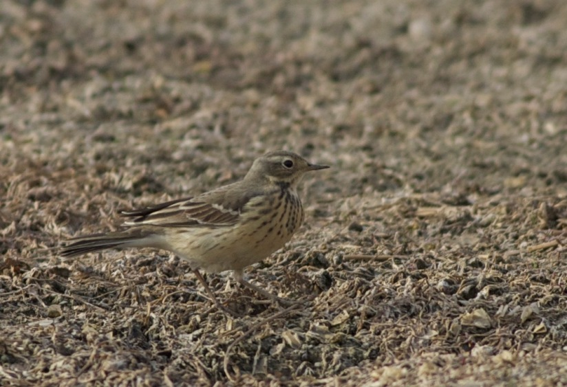 Buff-bellied Pipits