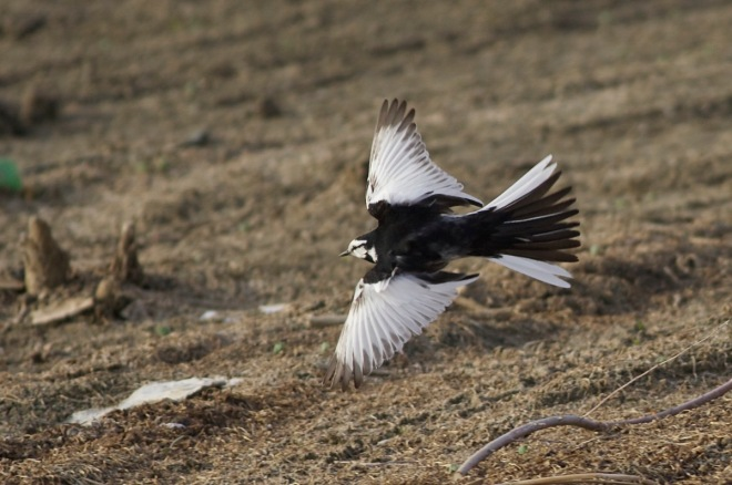 Male 'lugens' White Wagtail, Miyun Reservoir, Beijing, 19 April 2015.