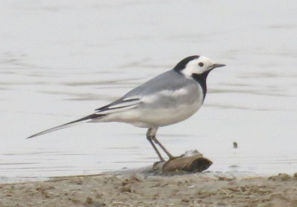Beijing: The Capital Of White Wagtails?