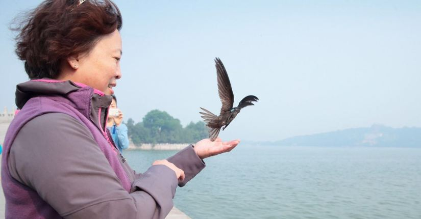 One of the members of the China Birdwatching Society releasing a Swift with a special 'backpack' at The Summer Palace today.  Photo by Zhang Weimin.