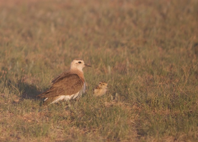 2015-06-04 Oriental Plover with chick, Mongolia