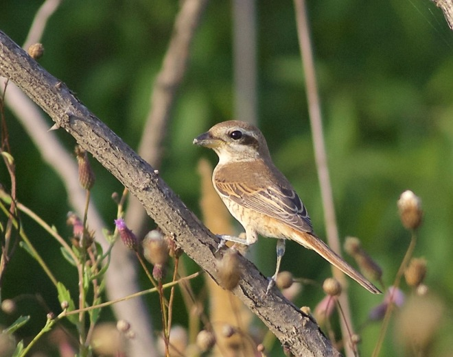 2015-09-03 Brown Shrike juvenile, Happy Island