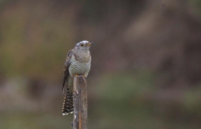 2015-09-04 Cuckoo juvenile, Happy Island