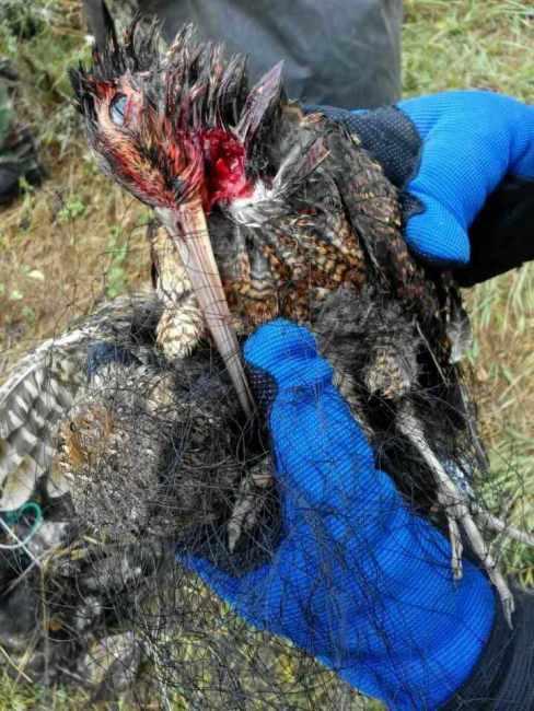 2015-10-01 dead woodcock, laotieshan