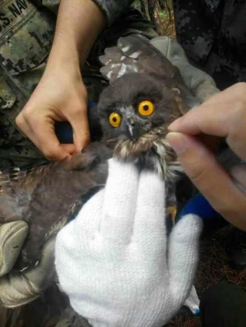 2015-10-01 releasing brown hawk owl, Laotieshan