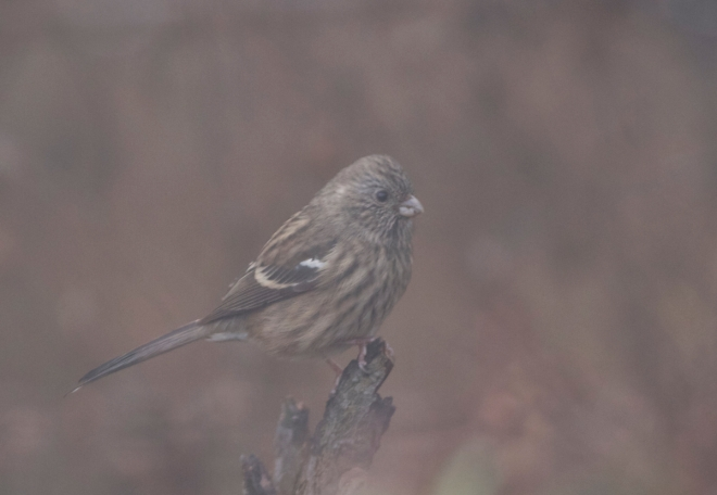 2014-10-31 Long-tailed Rosefinch fem, Lingshan
