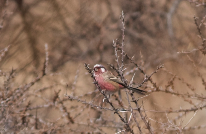 2014-11-25 Long-tailed Rosefinch male, Lingshan