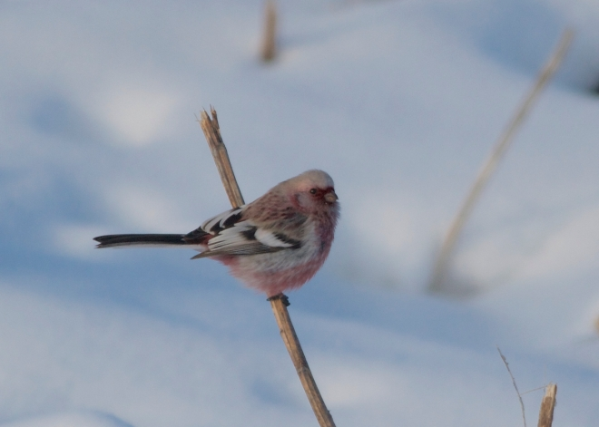 2014-12-22 Long-tailed Rosefinch male2, Wuerqihan, Inner Mongolia