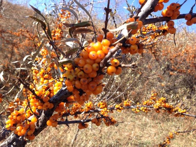 The Sea Buckthorn berry crop, 31 October 2015