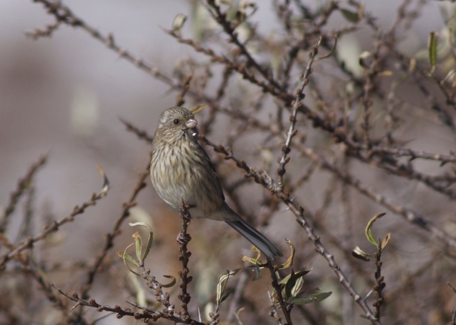 2015-11-09 Long-tailed Rosefinch fem, Lingshan