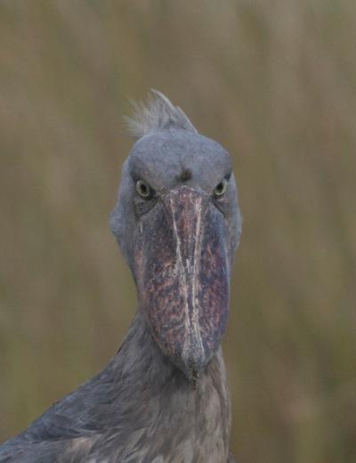 2015-11-13 Shoebill, Mabamba Wetland, Uganda7