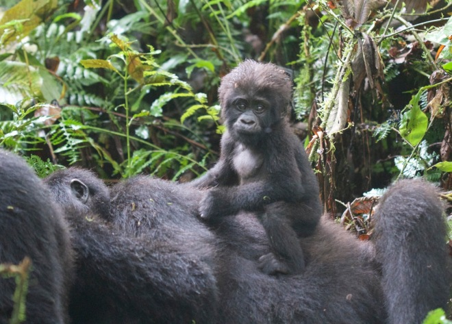 2015-11-15 Mountain Gorilla baby on mother, Bwindi, Uganda