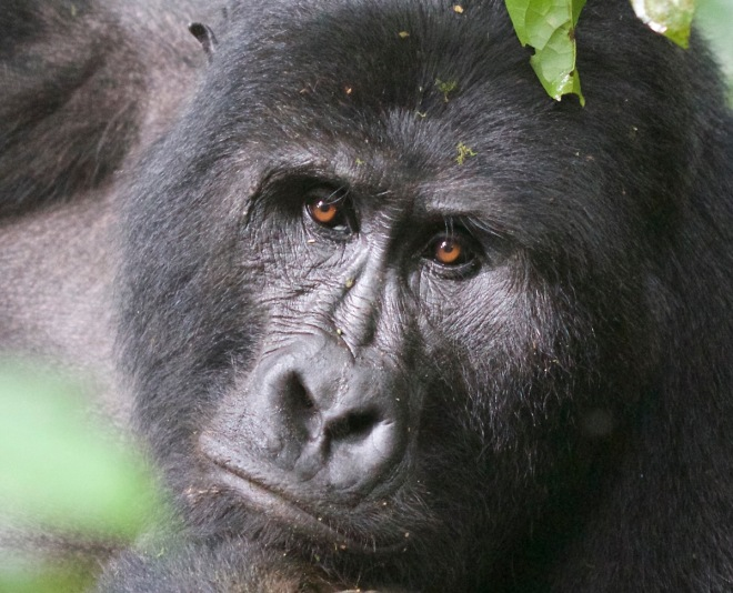 2015-11-15 Mountain Gorilla silverback close up2, Bwindi, Uganda