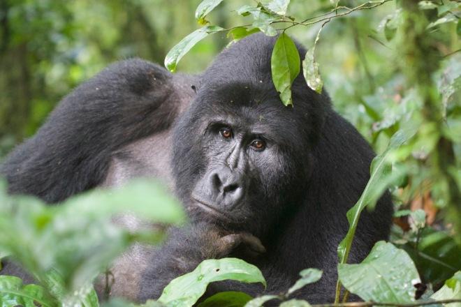 2015-11-15 Mountain Gorilla silverback5, Bwindi, Uganda