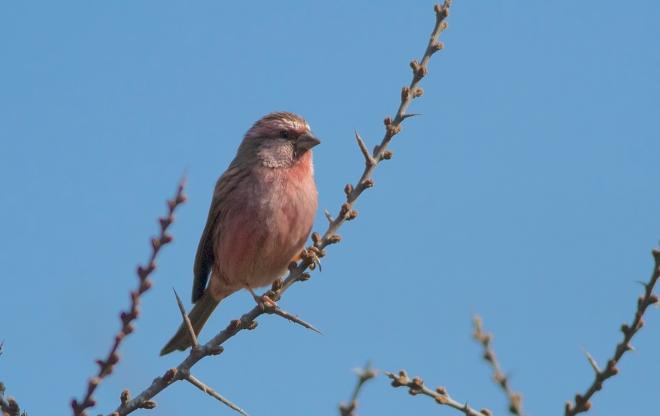 Chinese Beautiful Rosefinch male3