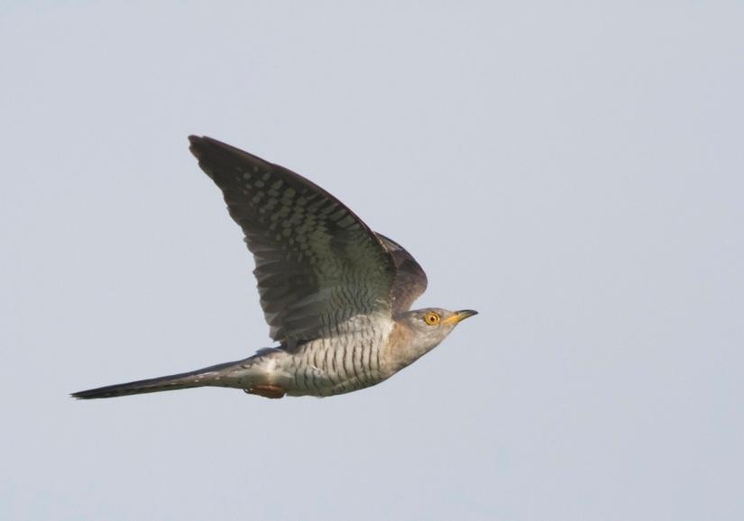 The Beijing CuckooProject