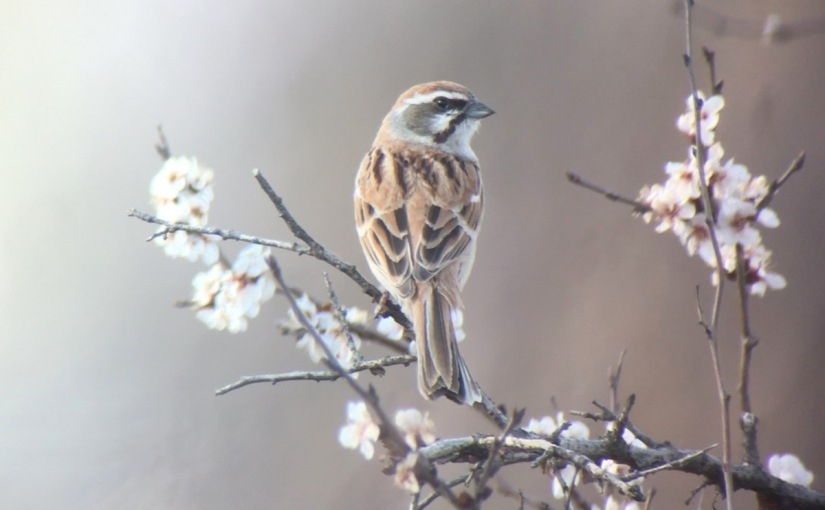 First Jankowski's Buntings in Beijing for 75 years