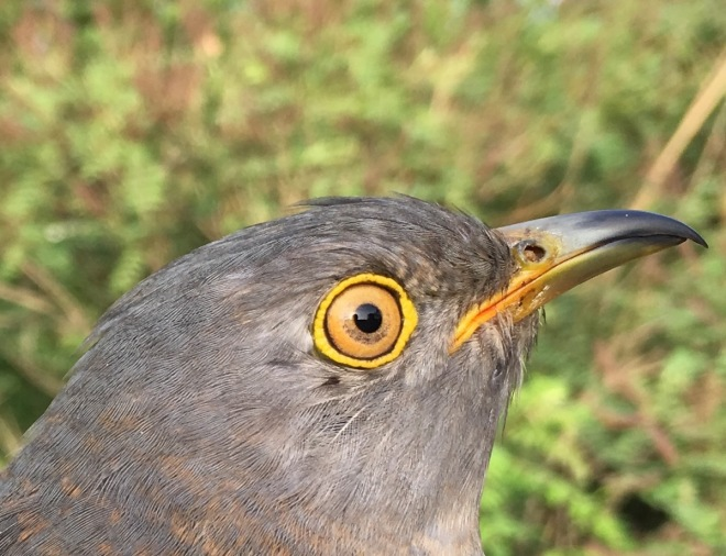 Tagged Cuckoo 1, Cuihu, 24 May 2016 close up