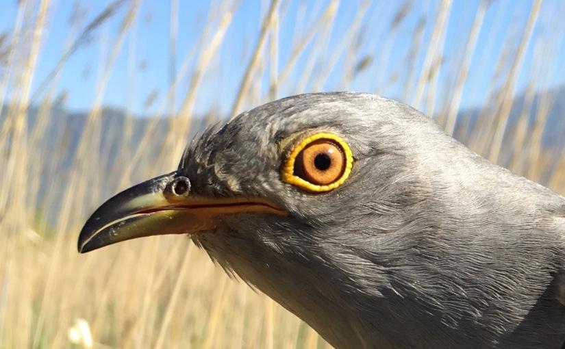 the beijing cuckoo project birding beijing 北京观鸟
