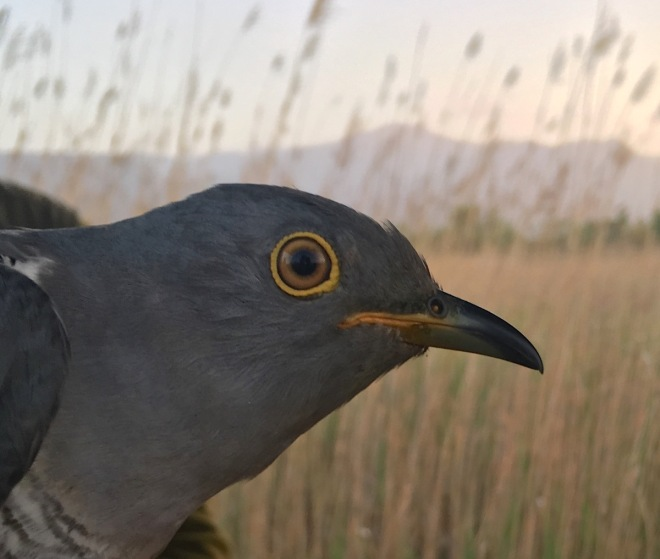 Tagged Cuckoo 5, Yeyahu, 26 May 2016 close up