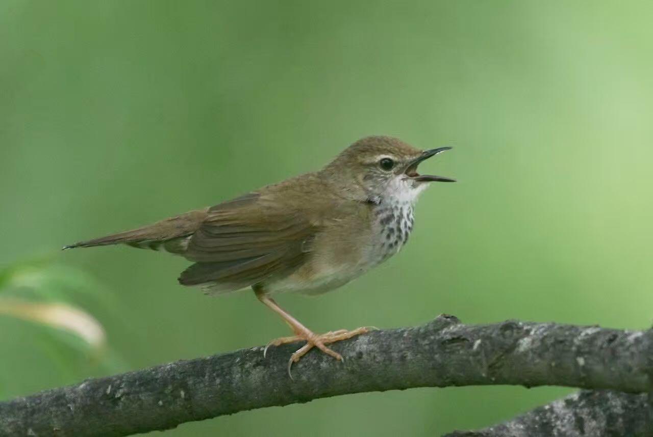 2016-07-09 David's Bush Warbler, Wuerqihan