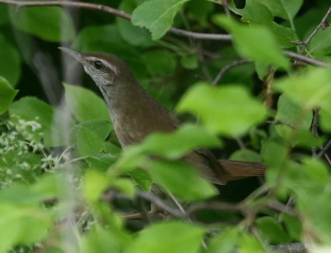 Gray's Grasshopper Warbler, Wu'erqihan, 9 July 2016