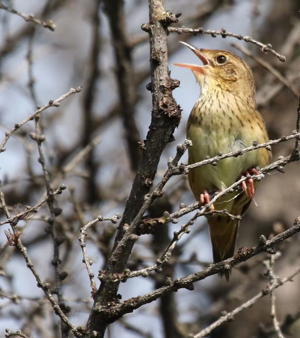 2016-07-09 Lanceolated Warbler, Wuerqihan