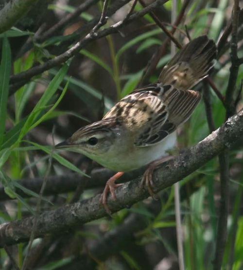 2016-07-09 Pallas's Grasshopper Warbler, Wuerqihan