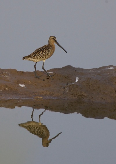2016-07-28 Asian Dowitcher juvenile, Nanpu