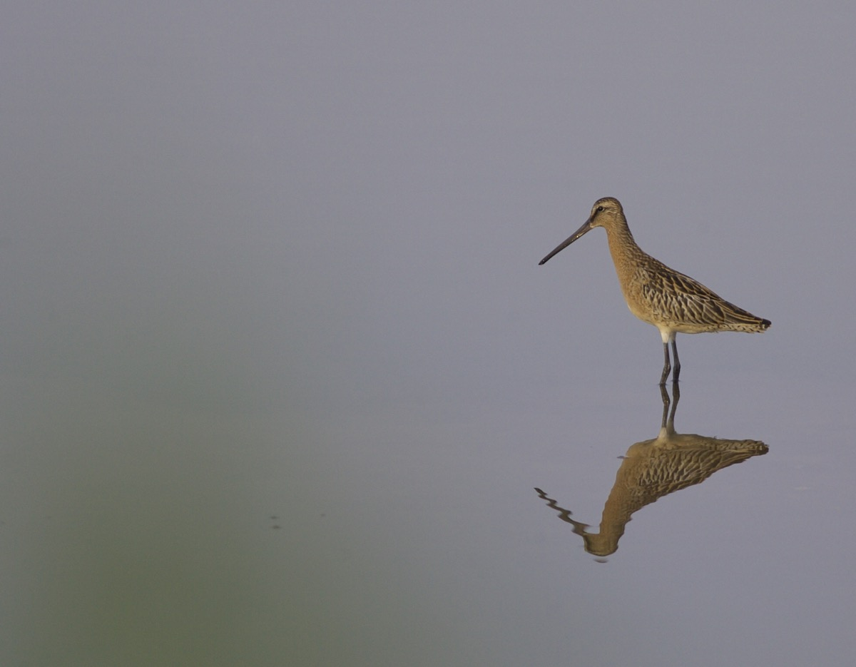 2016-07-28 Asian Dowitcher juvenile, Nanpu2