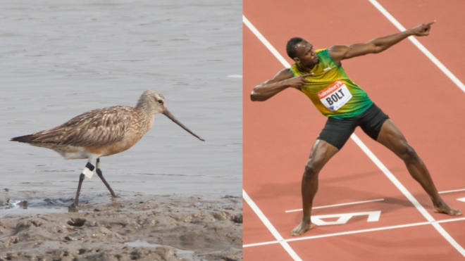 Bolt v BT Godwit