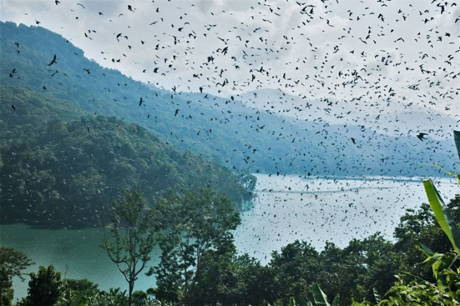 The sight of up to a million Amur Falcons at a stopover site in Nagaland, India. Photo by Ramki Sreenivasan.