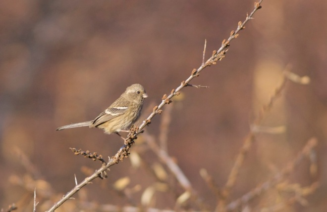 2016-12-12-long-tailed-rosefinch-ssp-lepidus-female-lingshan