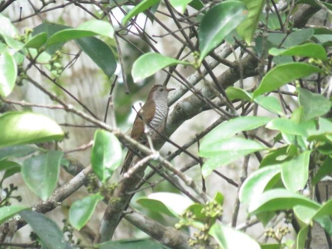 2017-01-12-violet-cuckoo-female-xtbg