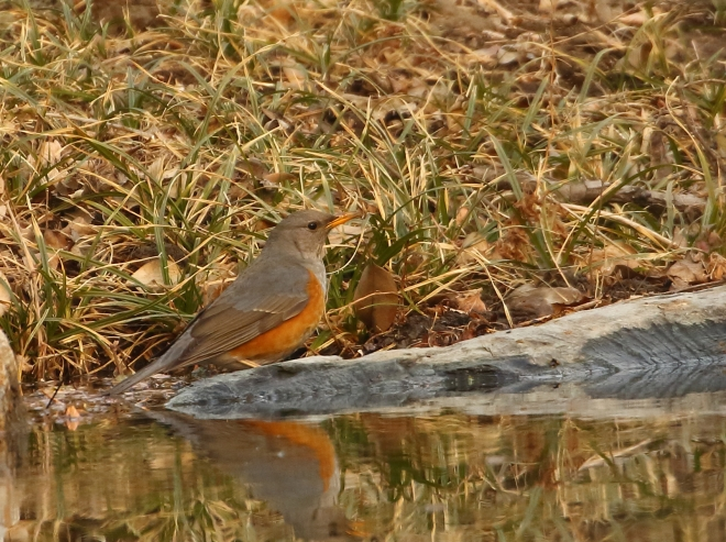 2017-01-24-grey-backed-thrush-pku-zhang-yong