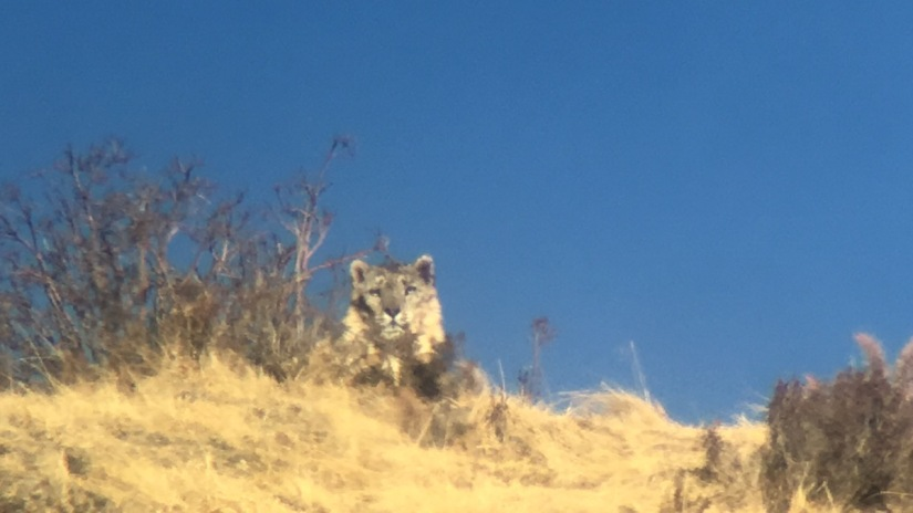 Snow Leopards in Qinghai