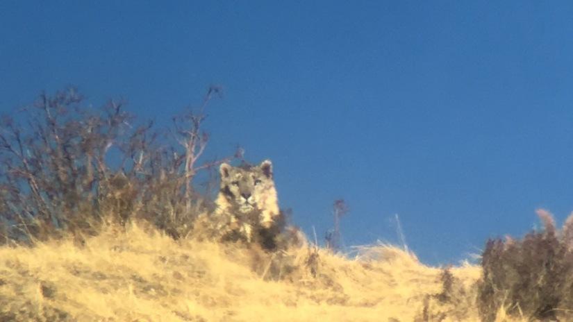 Snow Leopards inQinghai